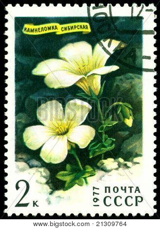Vintage  Postage Stamp.  Saxifraga Sibirica.