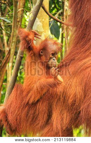 Baby Sumatran Orangutan Next To Its Mother N Gunung Leuser National Park, Sumatra, Indonesia