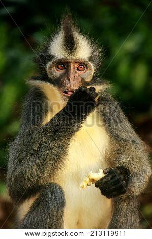 Thomas Leaf Monkey Eating Banana, Gunung Leuser National Park, Bukit Lawang, Sumatra, Indonesia