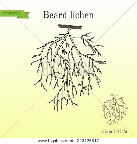 Beard lichen Usnea barbata , or tree moss. Hand drawn botanical vector illustration