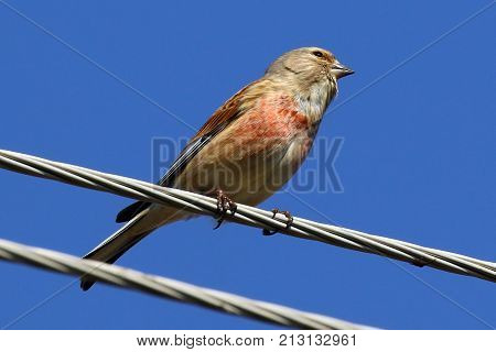 The linnet is a small passerine bird of the finch family, Fringillidae. It derives its scientific name from its fondness for hemp. Ukraine. 2017.  The common linnet is a slim bird with a long tail. The upper parts are brown, the throat is sullied white an