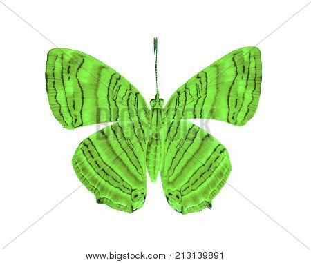 Isolated Dorsal View Of Common Maplet (chersonesia Risa ) Butterfly On White With Clipping Path