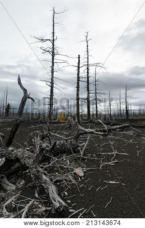 Dead Wood (Dead Forest) on Kamchatka Peninsula - consequence of natural disaster - catastrophic eruptions Plosky
