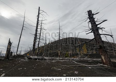 Kamchatka Peninsula volcanic landscape: burnt trees (larch) on volcanic slag ash in Dead Wood (Dead Forest) - consequence of natural disaster - catastrophic eruptions Plosky