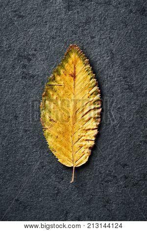 Fall Hornbeam Leaf; close up