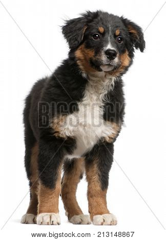 Bernese mountain dog puppy, 5 months old, standing in front of white background
