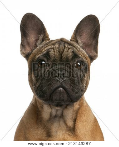 Close-up of French bulldog puppy, 4 months old, in front of white background