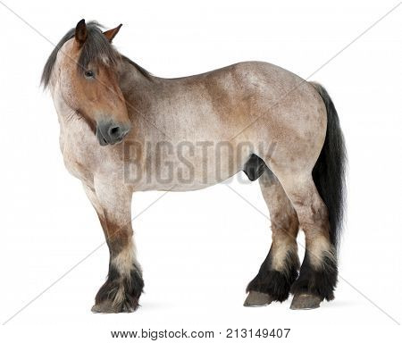 Belgian horse, Belgian Heavy Horse, Brabancon, a draft horse breed, 16 years old, standing in front of white background