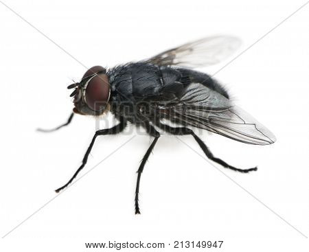 Housefly, Musca domestica, in front of white background