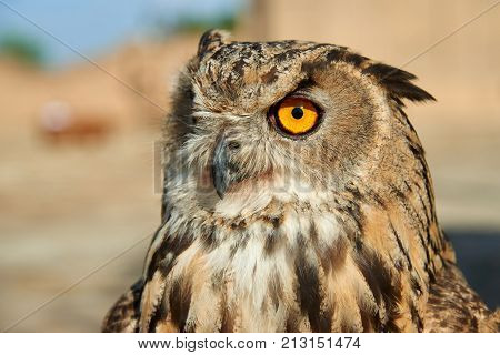 Owl. Owls are birds from the order Strigiformes, which includes about 200 species of mostly solitary and nocturnal birds. Owls hunt mostly small mammals, insects, and other birds.