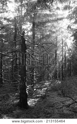 black and white photo of sunbeams shining into the dark eery spruce forest