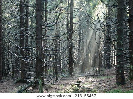 sunbeams shining into the dark eery spruce forest