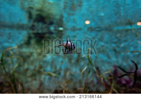 beautiful Banggai cardinalfish (Pterapogon kauderni)