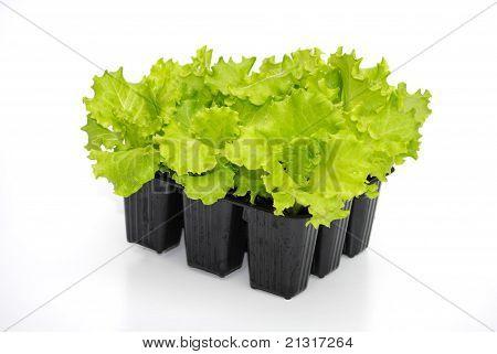 lettuce seedlings ready for transplant