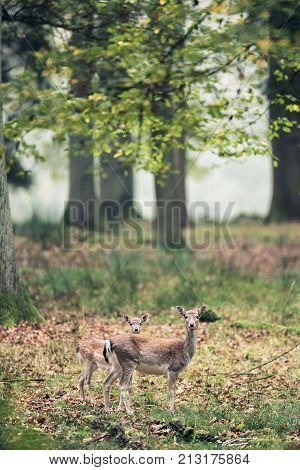 Fallow Deer Mother With Youngster In Autumn Forest.