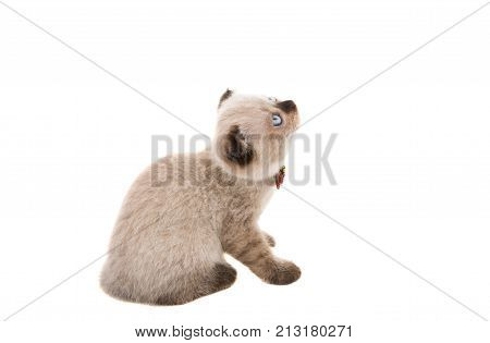 lop-eared gray kitten isolated on white background