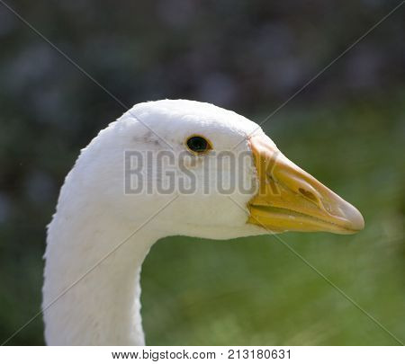 portrait of a goose . In the park in nature