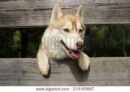 Husky or wolf at wooden background copy space. Year of dog holiday celebration. Pet and animal Siberian husky dog year. New year christmas xmas. Zoo shelter farm or captivity.