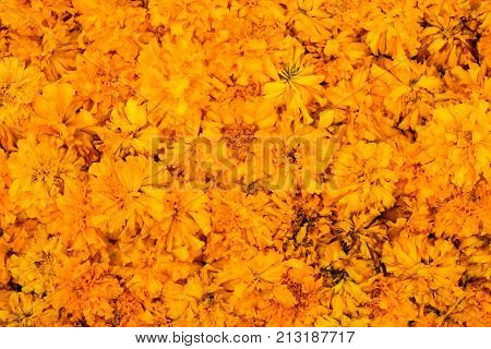 Beautiful Marigold (Calendula officinalis) for flower background or texture - yellow concept.