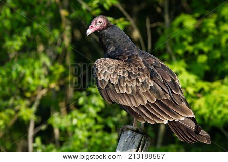 A turkey vulture looking back over it's shoulder