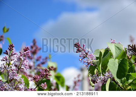 lilac with blue sky and green leafs