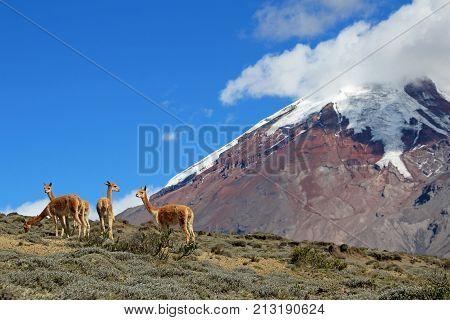 Vicunas, wild relatives of llamas, grazing at Chimborazo volcano high planes, Ecuador, South America
