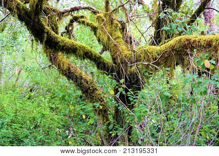 Moss on tree branches taken at a lush green temperate rain forest in the Northern California Coast