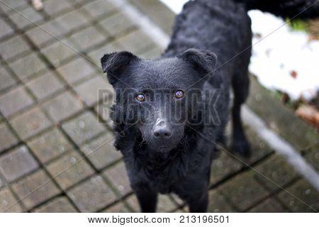 wanderer black dog head close up portrait
