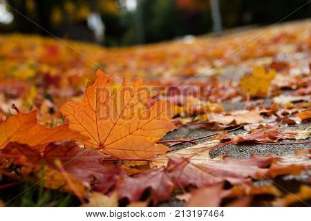Maple Leaves On A Street Surface During Leaf Fall  - 1