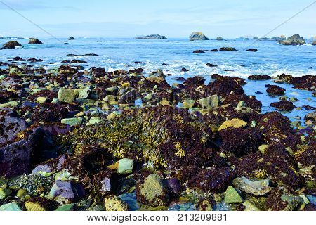 Tide Pools surrounded by kelp plants and seaweed during low tide taken on the rural Northern California Coast