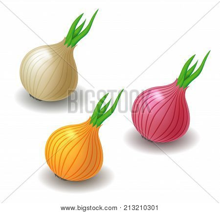 Vector semi realistic illustration of onion. White yellow and red onion bulbs. Isolated on white