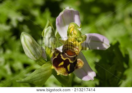 Wild Bee Orchid Flower With Triple Anthers - Ophrys Apifera
