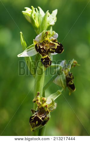 Wild Bee Orchid Plant With Malformation - Ophrys Apifera