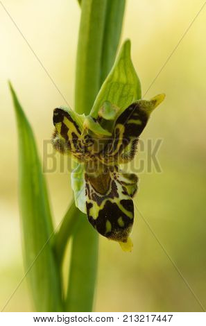 Wild Bee Orchid Flower With Labeloid Petals - Ophrys Apifera