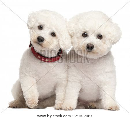 Bichon Frise, 9 and 7 years old, in front of white background