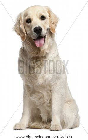 Golden Retriever, 10 months old, sitting in front of white background