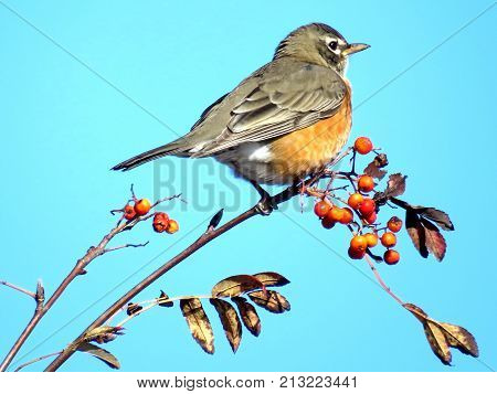 American Robin on rowanberry branch in forest of Thornhill Canada November 10 2017