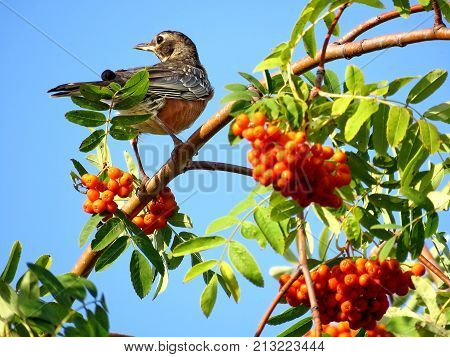 American Robin on rowanberry tree in forest of Thornhill August 26 2017