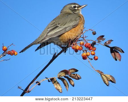 American Robin on the rowanberry branch in forest of Thornhill Canada November 10 2017