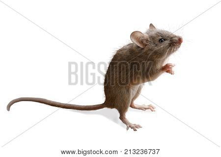 closeup small mouse stands on its hind legs isolated on white background