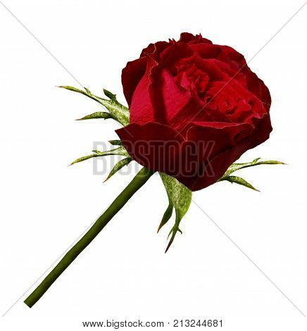 Red rose flower on a green stem. Rose on a white isolated background with a clipping path there are no shadows. close-up. Nature.