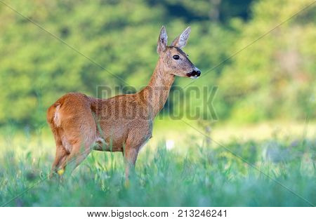 Wild female roe deer (capreolus capreolus) in a field