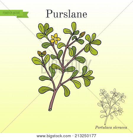 Common Purslane Portulaca oleracea , or verdolaga, pigweed, little hogweed, red root, pursley. Hand drawn botanical vector illustration
