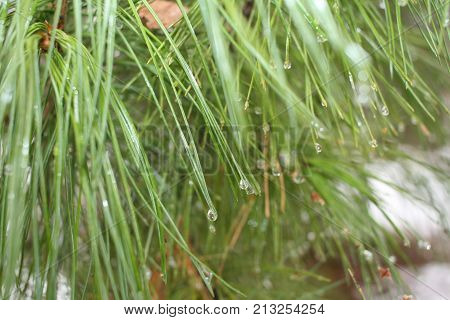 Natural background with soft focus. Thaw in winter: drops of water are hanging on the tips of green pine needles.