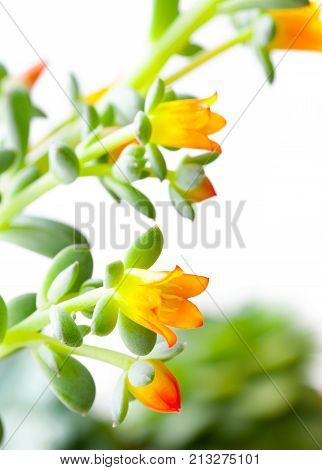 The Flowers of a succulent plant. Close-up