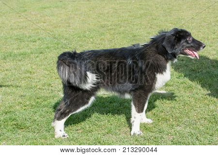 Karakachan Mountain shepherd guardian dog . Selective focus on the dog