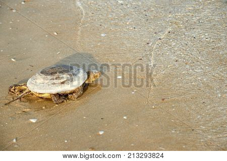The European marsh turtle (Emys orbicularis). The European marsh turtle is a species of freshwater turtles from the genus of swamp turtles. It is found in southern and central Europe, West Asia and North Africa.