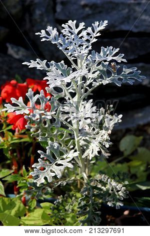 Silvery Dusty Miller plant growing in front of a stone wall.
