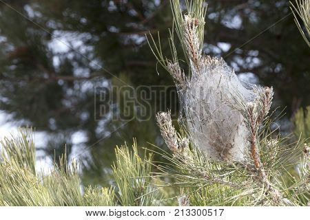 Mediterranean coniferous pine processionary infested. Cobweb tent. A plant with coniferous trees infested processionary. The picture shows the dense web of spider web.