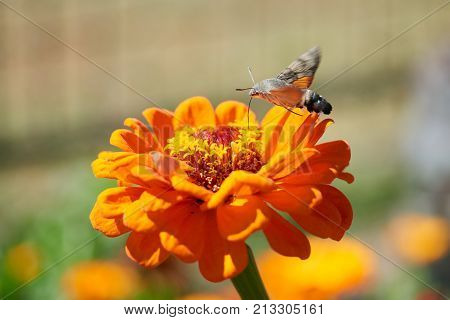 Hummingbird hawk-moth. The hummingbird hawk-moth (Macroglossum stellatarum) is a species of moth. The hummingbird hawk-moth is distributed throughout the northern Old World from Portugal to Japan, but is resident only in warmer climates.